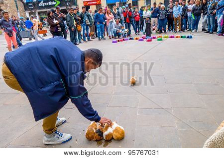 Unidentify man selecting guinea pig for street gambling one animal is about to go into colorful uptu