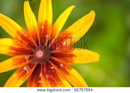 Bright Orange And Yellow Rudbeckia Flower In The Garden Macro Shot. With Blurred Natural Green Backg
