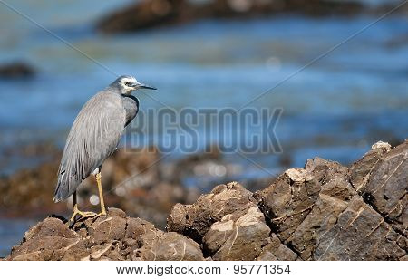 White-faced Heron (egretta Novaehollandiae)..