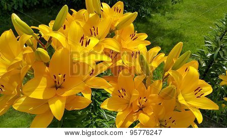 Beautiful Bright Yellow Lily