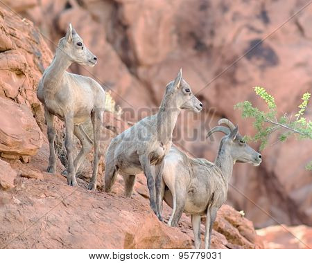 Bighorn Sheep, Valley Of Fire State Park, NV