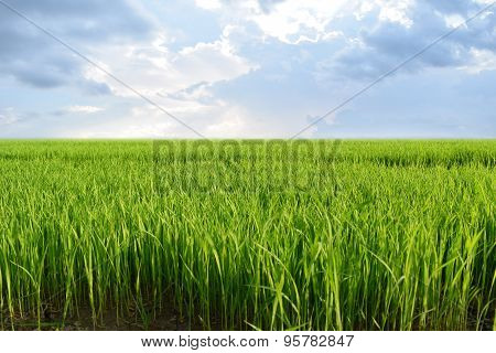 Beautiful view Green rice seedlings cornfield