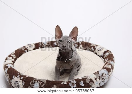 Cute Hairless Sphinx Cat Isolated On White