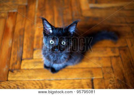 Maine Coon Kitten Sitting On The Floor