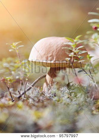 Cepe Grows In A Moss