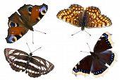 Постер, плакат: Четыре бабочки