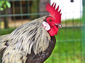 foto of roosters  - Close up of single rooster inside a cage - JPG