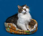 picture of blue tabby  - White and fluffy tabby cat sitting in motley couch on blue background - JPG