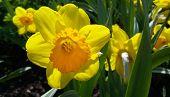 stock photo of daffodils  - Close up of beautiful yellow daffodils  - JPG