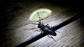 foto of longhorn  - Male Great Capricorn beetle Cerambyx cerdo a Cerambycidae longhorn beetle spotted at night Larvae usually feed - JPG