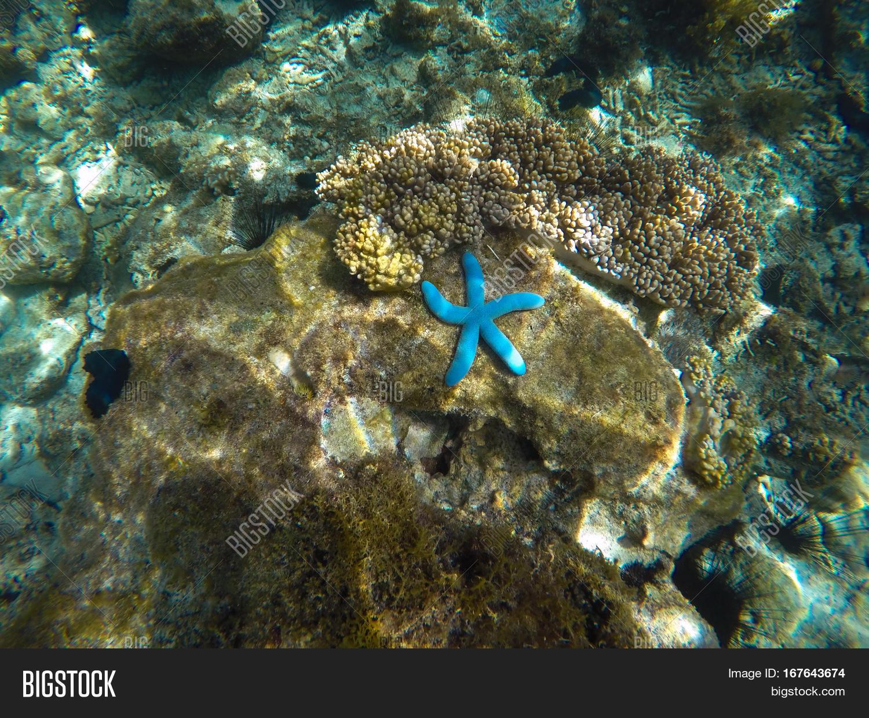 blue starfish on coral reef sunny image u0026 photo bigstock