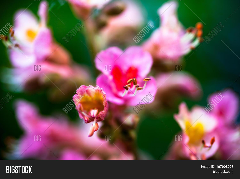 Closeup Pink Flowers Horse Chestnut Image Photo Bigstock