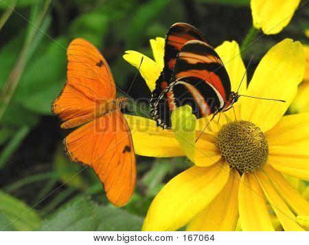 Banded Orange And Julia