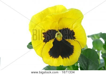 Yellow blotched pansy