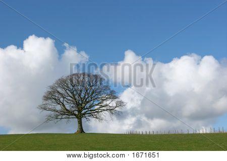 Solitary Oak In Winter