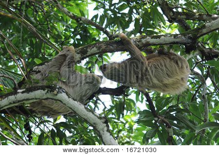 Pair Of Two Toe Sloths In Tree, Costa Rica, Central America