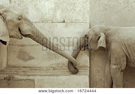elephant and his calf, touching each other