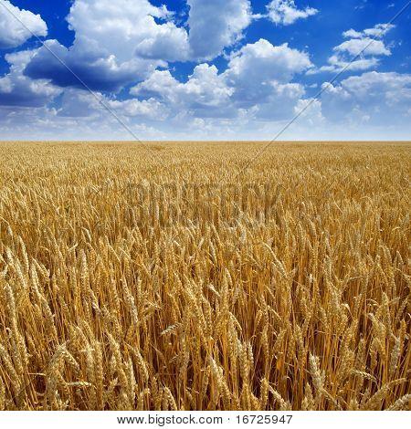 Wheaten field.