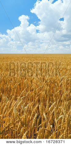 Wheat field.
