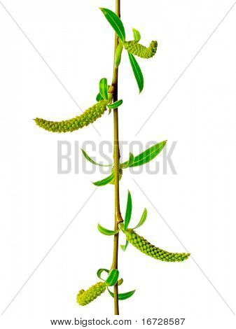 Weeping willow on white background (isolated).