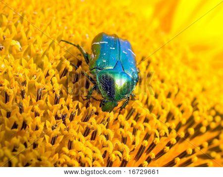 May bug on sunflower background.