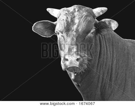 Bull Pin & Ink