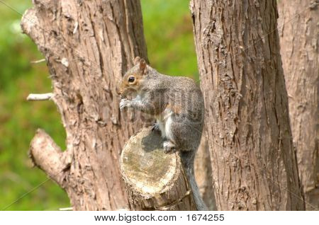 Squirrel Munching On Nut