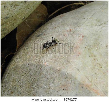 Choonta - formiga indiano preto