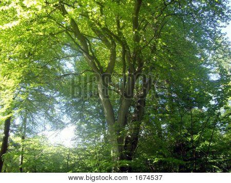 Tree Of Beauty