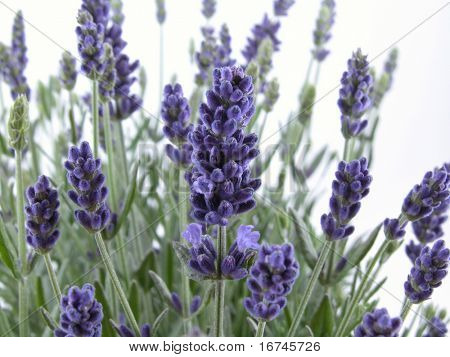 aromatic bunch of lavender isolated on white