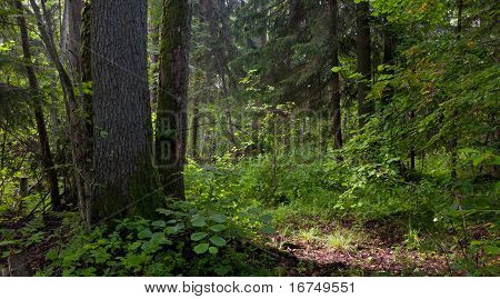 Natural Stand Of Bialowieza Forest Landscape Reserve With Alder Tree