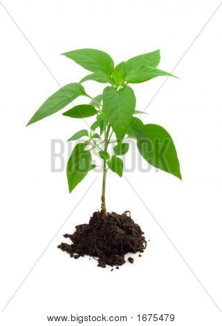 Vigorous Young Plant