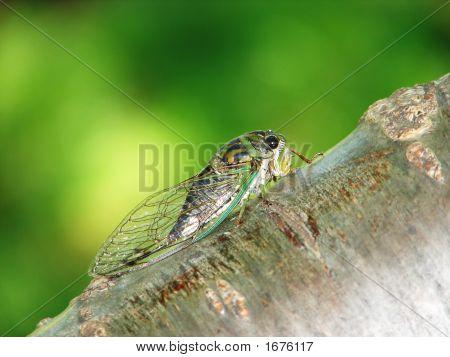 Cicada In Tree