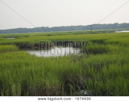 Egrits In The Marsh