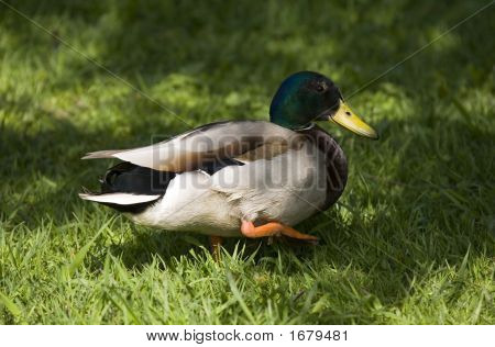 Duck In A Grass Close-Up