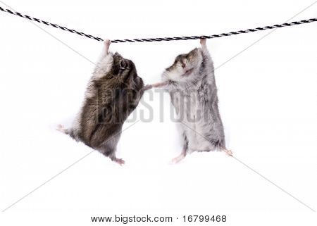 Two funny dwarf hamsters on a rope