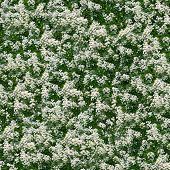 picture of white flower  - Little white flowers seamless background - JPG