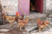 pic of coxcomb  - A rooster and a few hens in a coop - JPG