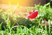 The Red Poppy Flower In Garden Background With The Sun