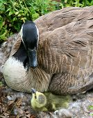 stock photo of mother goose  - A mother Canadian goose stairs into the eyes of her newborn gosling - JPG