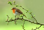 stock photo of robin bird  - a robin sitting on a branch of a hawthorn tree - JPG