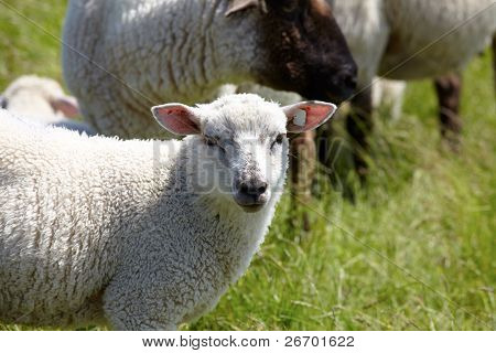 Lamb on a green meadow