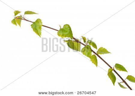 Birch branch isolated on white background