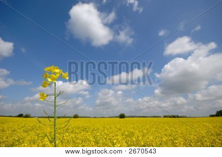 Rape Flower And Landscape