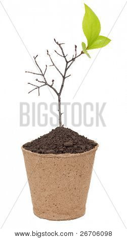 Dry branch with buds of leaves in a pot