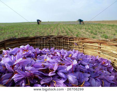 Saffron flowers in bloom