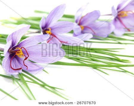 Close up of beautiful blue Saffron Crocus flowers