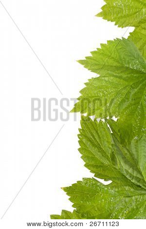 Fresh leaves of wild grape isolated on white