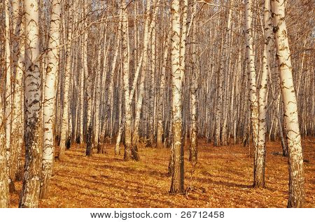 view of birch trunks in autumn forest
