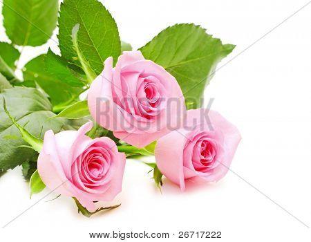 Blume rosa Rosen auf weißem Hintergrund